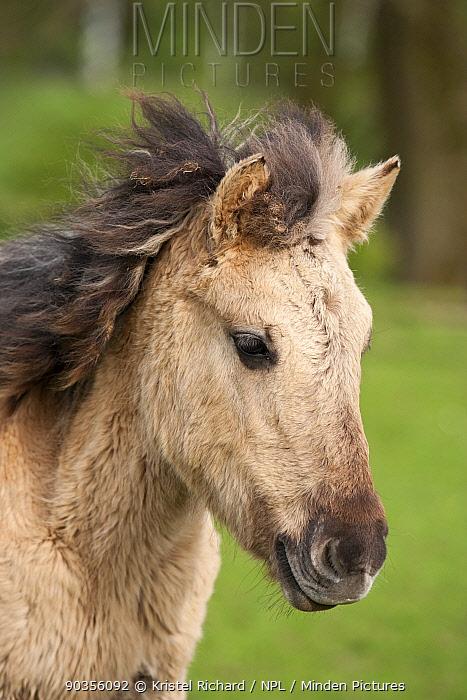 Konik horses (Equus caballus), wild Konik young filly, Arnhem natural reserve, Netherlands, April  -  Kristel Richard/ npl