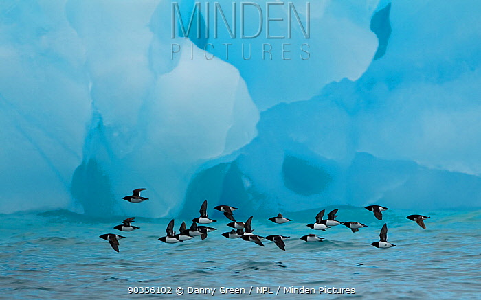Little Auks (Alle alle) flying low above surface in front of iceberg Spitsbergen, Svalbard, Norway, July 2010 Highly commended in the Birds category in the GDT competition 2011  -  Danny Green/ NPL