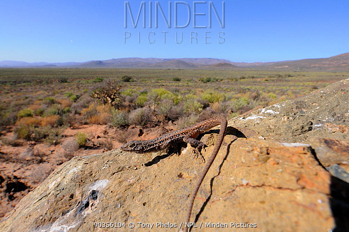 Spotted Sand Lizard (Pedioplanis lineoocellata pulchella) basking on rock in front of desert scrub landscape Ceres Karoo, Western Cape, South Africa, April  -  Tony Phelps/ npl