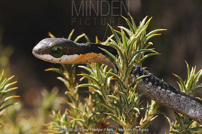 Boomslang (Dispholidus typus) juvenile Swartberg nature reserve, Western Cape, South Africa, April  -  Tony Phelps/ npl