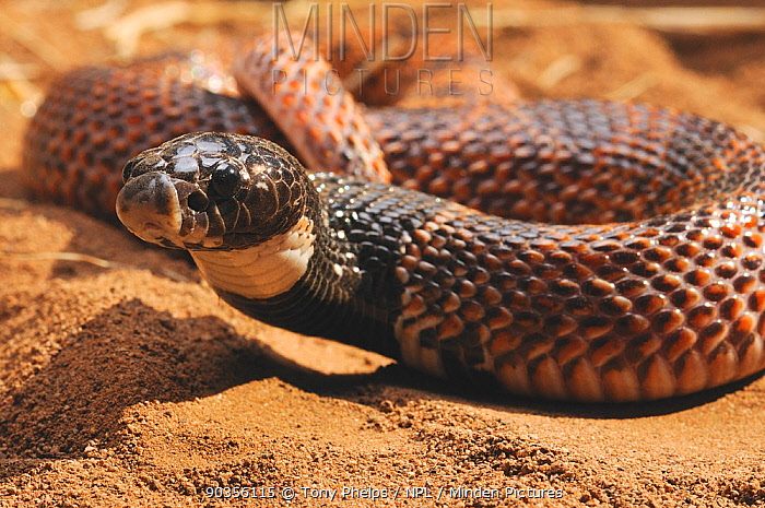 Shield-nose Snake (Aspidelaps scutatus), adult male Mussina, Limpopo Province, South Africa, April  -  Tony Phelps/ npl