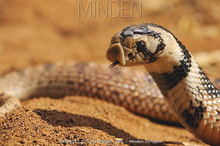 Shield-nose Snake (Aspidelaps scutatus), immature female Mussina, Limpopo Province, South Africa, April  -  Tony Phelps/ npl