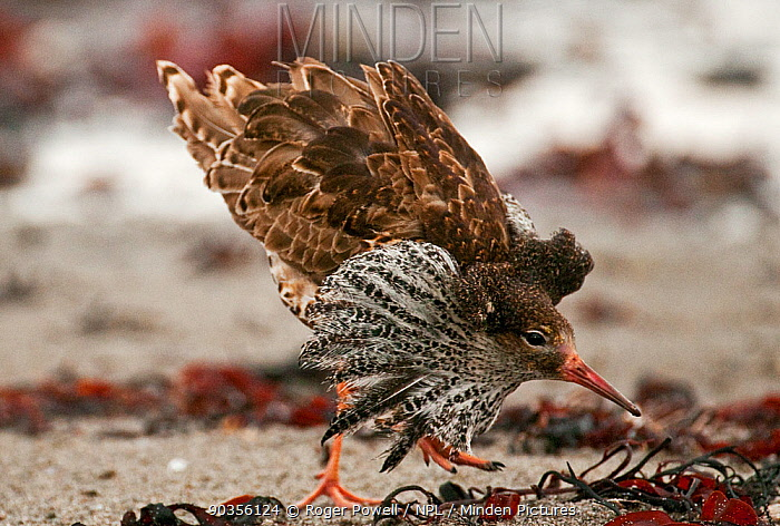Ruff (Philomachus pugnax) male displaying at a lek Varanger, Norway, June  -  Roger Powell/ npl