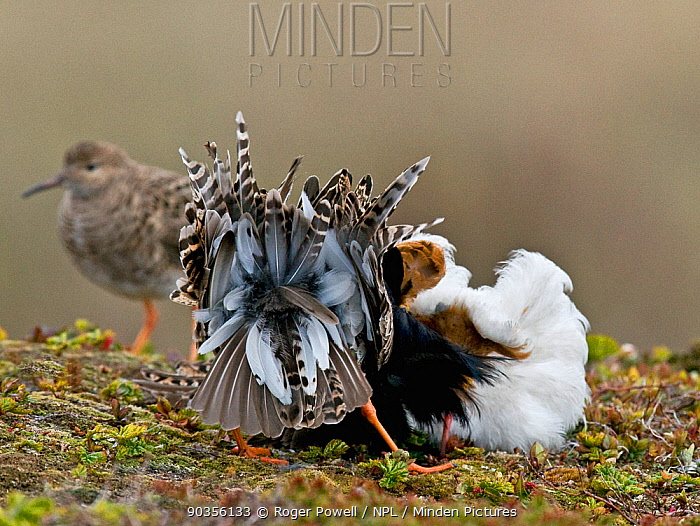 Two male Ruff (Philomachus pugnax) of different colour types competitively displaying to a female (a 'Reeve') in the background Varanger, Norway, June  -  Roger Powell/ npl