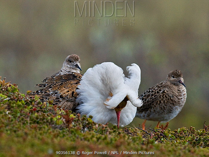 Displaying male Ruff (Philomachus pugnax) flanked by two admiring females ('Reeves') Varanger, Norway, June  -  Roger Powell/ npl