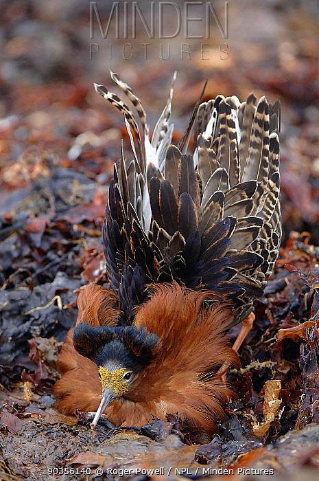Ruff (Philomachus pugnax) male displaying at the lek Varanger, Norway, June  -  Roger Powell/ npl