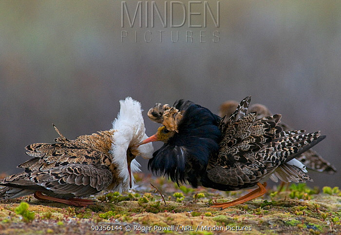 Two male Ruff (Philomachus pugnax) of different colour types competitively displaying at a lek Varanger, Norway, June  -  Roger Powell/ npl