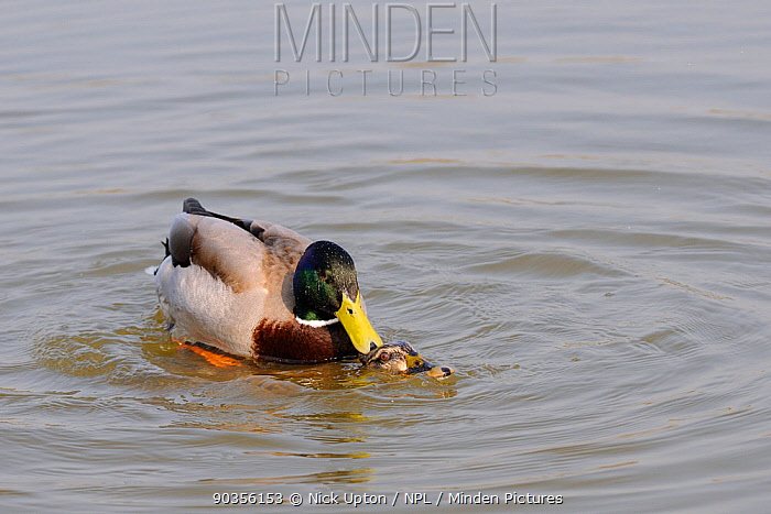 Mallard (Anas platyrhynchos) drake mating with a duck submerged beneath the water Wiltshire, UK, March  -  Nick Upton/ npl