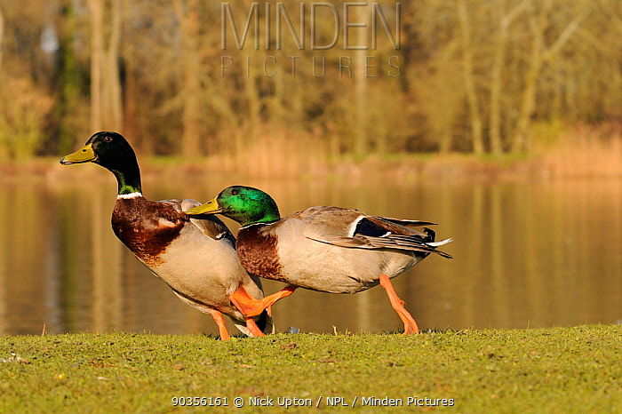 Mallard (Anas platyrhynchos) drake chasing off a rival after defeating it in a fight Corsham Court, Wiltshire, UK, March  -  Nick Upton/ npl