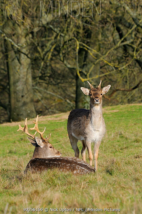 A young Fallow Deer (Dama dama) stag standing by a mature stag Dyrham Park, Wiltshire, UK, February  -  Nick Upton/ npl