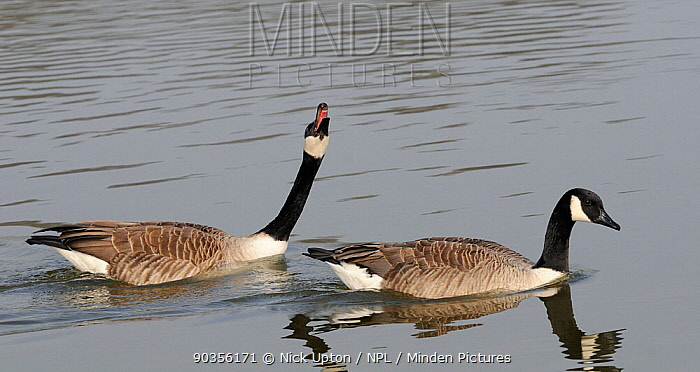 Canada Geese (Branta canadensis) on water A male is courting a female by neck stretching and calling Wiltshire, UK, March  -  Nick Upton/ npl