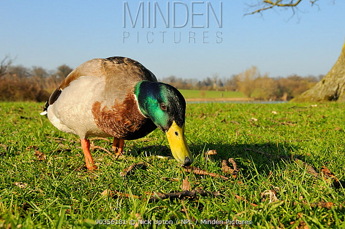 Mallard drake (Anas platyrhynchos) foraging on grass Corsham Court, Wiltshire, UK, March  -  Nick Upton/ npl