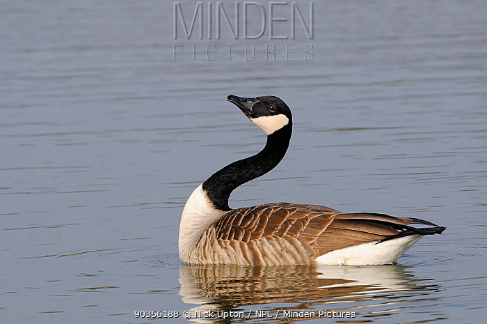Canada Goose (Branta canadensis) male courtship display, curving neck before stretching head up while swimming on lake Wiltshire, UK, March  -  Nick Upton/ npl