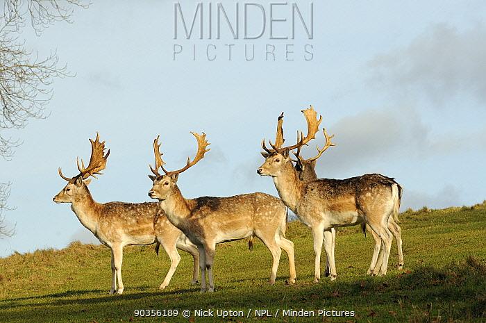 Four Fallow Deer (Dama dama) stags standing alert on a parkland hillside at sunset Dyrham Park, Wiltshire, UK, February  -  Nick Upton/ npl