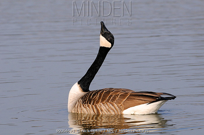 Canada Goose (Branta canadensis) male courtship display, stretching head up while swimming on lake Wiltshire, UK, March  -  Nick Upton/ npl