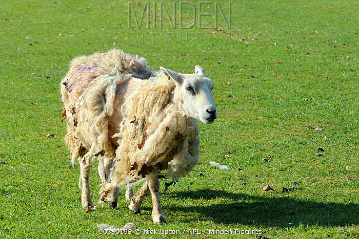 Self-shearing Domestic Sheep (Ovis aries) ewe of polled Wiltshire horn (Wiltipoll) breed, losing its winter fleece in spring Wiltshire, UK, March  -  Nick Upton/ npl