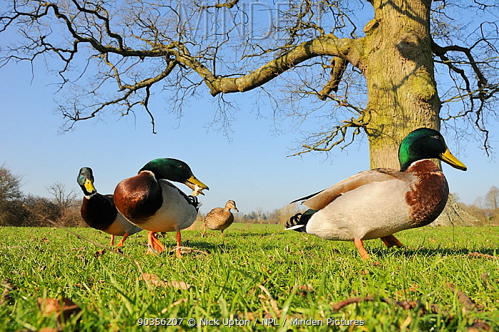 Mallard (Anas platyrhynchos) group of three drakes and a duck foraging for bread on grass beneath English oak tree Corsham Court, Wiltshire, UK, March  -  Nick Upton/ npl