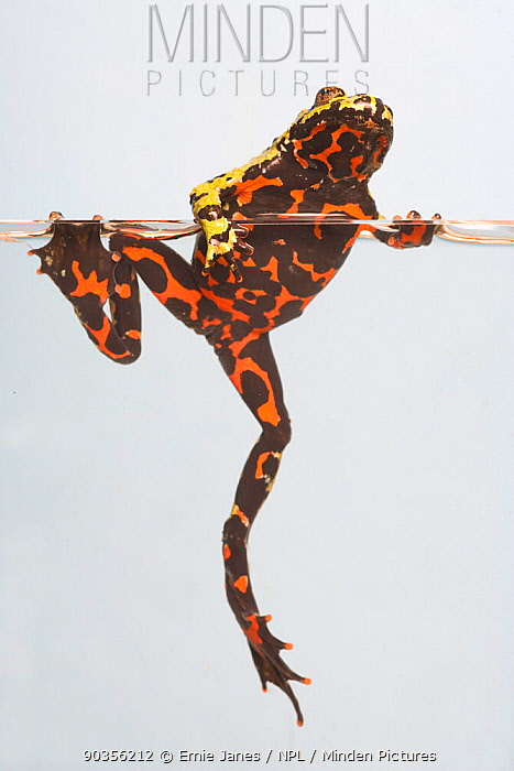 Oriental fire bellied toad (Bombina orientalis) climbing out of water, captive, from Asia  -  Ernie Janes/ npl