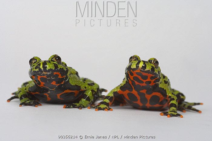 Oriental fire bellied toad (Bombina orientalis) two, captive, from Asia  -  Ernie Janes/ npl