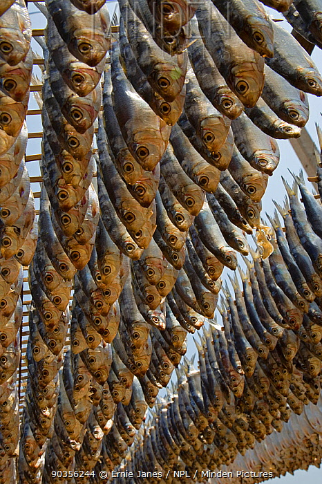Fish drying in the sun, Cha-Am, Southern Thailand  -  Ernie Janes/ npl