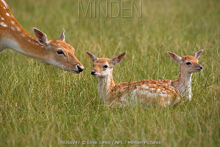 Fallow deer (Dama, Cervus dama) doe with fawn in parkland, UK  -  Ernie Janes/ npl