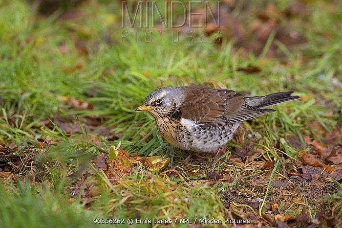 Fieldfare (Turdus pilaris) feeding on rotten apple on ground, Norfolk, UK, winter  -  Ernie Janes/ npl