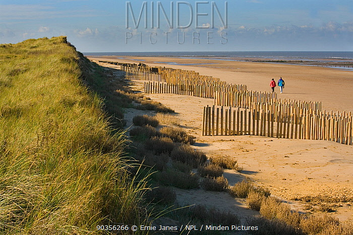 Posts for stabilising sand dunes at Holme NNR, Norfolk, UK  -  Ernie Janes/ npl