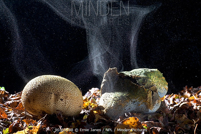 Earthball (Scleroderma aurantium) fungi emitting spores, UK  -  Ernie Janes/ npl