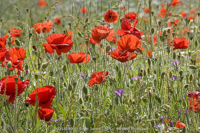 Field Poppies (Papaver rhoeas) flowering in grassland, UK  -  Ernie Janes/ npl