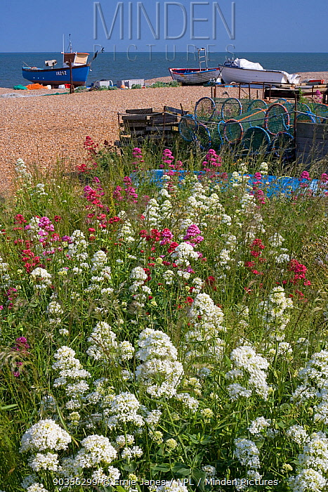 Fishing boats hauled up on beach at Aldeburgh, Suffolk, UK Valerian growing in foreground  -  Ernie Janes/ npl
