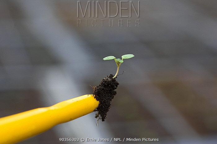 Pricking out a Coriander (Coriandum sativum) seedling at a commercial herb growing garden, UK  -  Ernie Janes/ npl