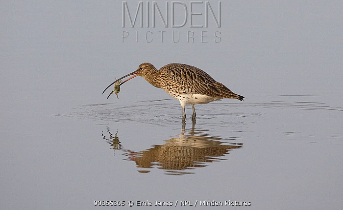Curlew (Numenius arquata) feeding on crab in water, winter, Norfolk, UK  -  Ernie Janes/ npl