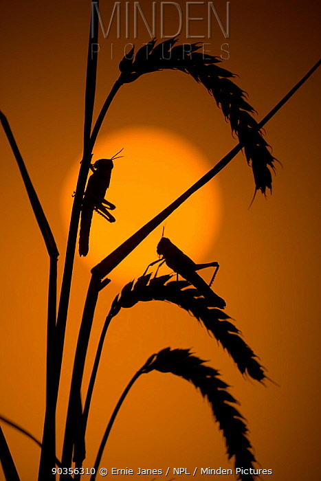 Desert locust (Schistocerca gregaria) silhouette at sunset on cereal plant  -  Ernie Janes/ npl