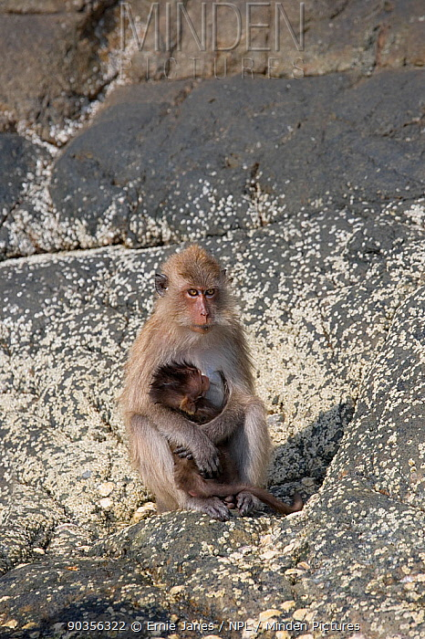 Crab-eating macaque (Macaca fascicularis) female and young, suckling, sitting on rocks at coast, Thailand  -  Ernie Janes/ npl