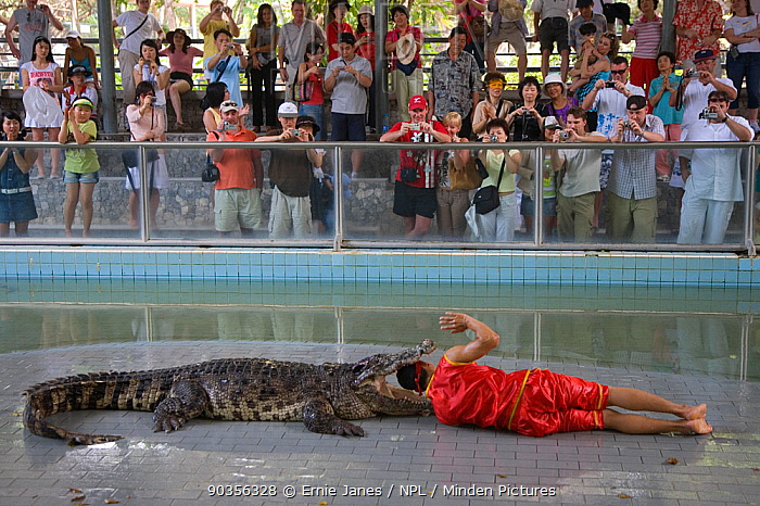 Handler puts his head inside the jaws of a crocodile to entertain tourists at Zoo, Thailand  -  Ernie Janes/ npl