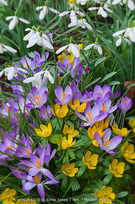 Spring Crocus (Crocus vernus), Snowdrops (Galanthus sp) and Winter Aconites (Eranthis sp) flowering in garden, Norfolk, UK, March  -  Ernie Janes/ npl