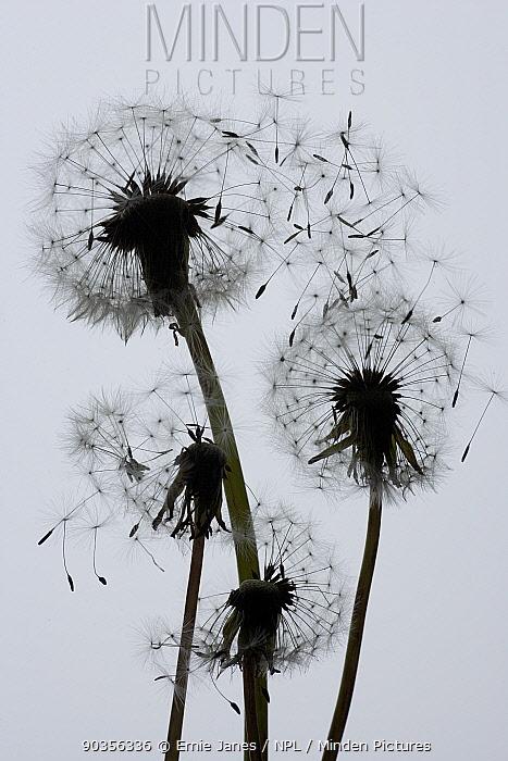 Silhouette of Dandelion (Taraxacum officinale) seedheads with seeds blowing in wind, UK  -  Ernie Janes/ npl