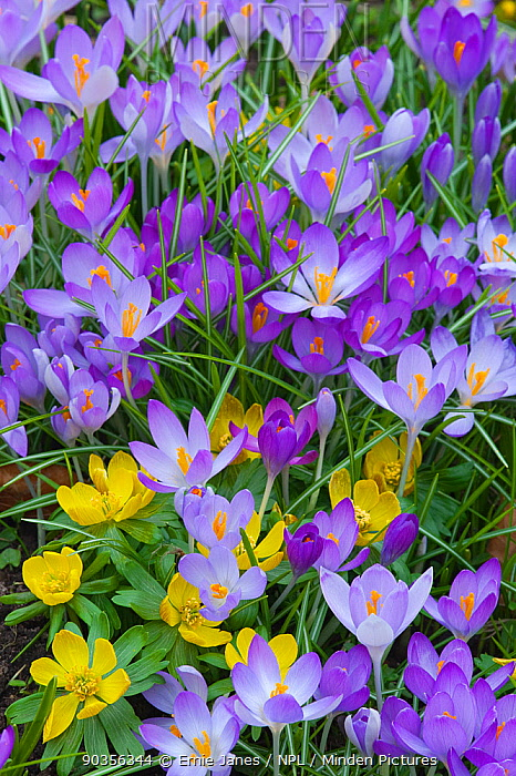 Spring Crocus (Crocus vernus) and Winter Aconites (Eranthis sp) flowering in garden, Norfolk, UK, March  -  Ernie Janes/ npl