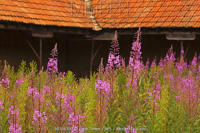 Rosebay willowherb (Epilobium angustifolium) growing in yard of old farm barn, Norfolk, UK  -  Ernie Janes/ npl
