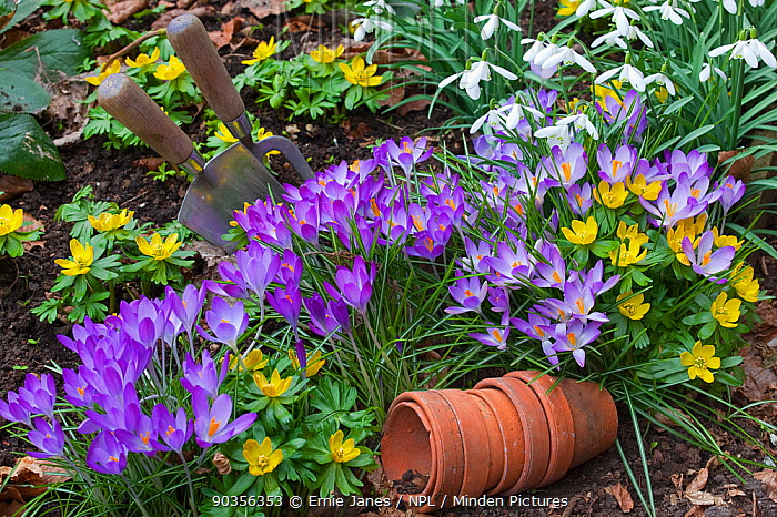 Spring Crocus (Crocus vernus), Snowdrops (Galanthus sp) and Winter Aconites (Eranthis sp) flowering in garden, Norfolk, UK, March  -  Ernie Janes/ npl