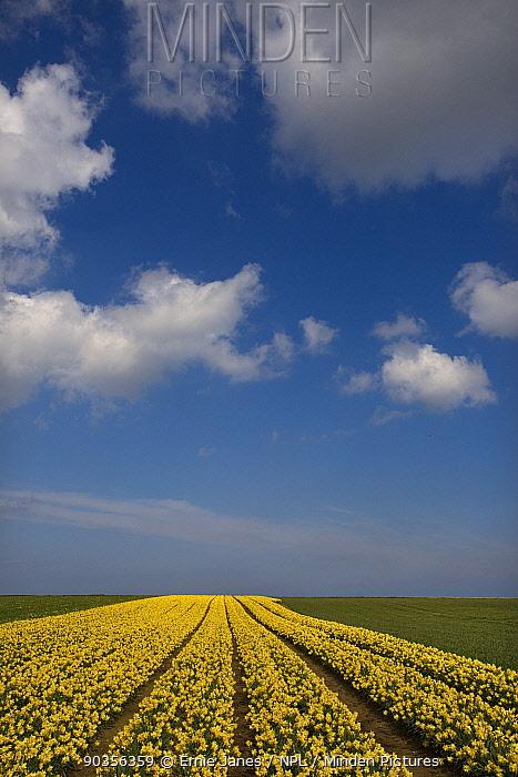 Daffodil fields, Walcot, Norfolk, UK, April  -  Ernie Janes/ npl