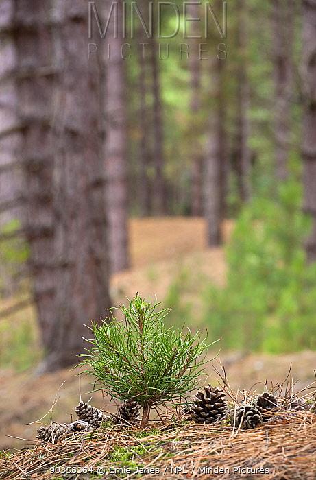 Corsican Pine seedling (Pinus nigra var maritima) growing amongst pine trees and cones in coastal pine woodlands, Norfolk, UK  -  Ernie Janes/ npl