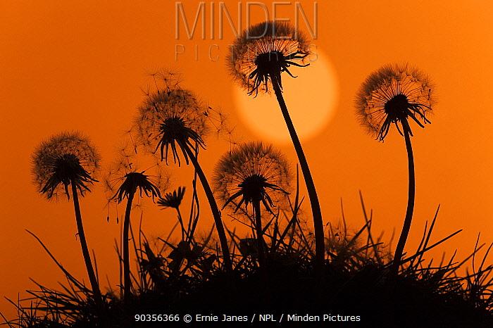 Silhouette of Dandelion (Taraxacum officinale) seedheads, UK  -  Ernie Janes/ npl