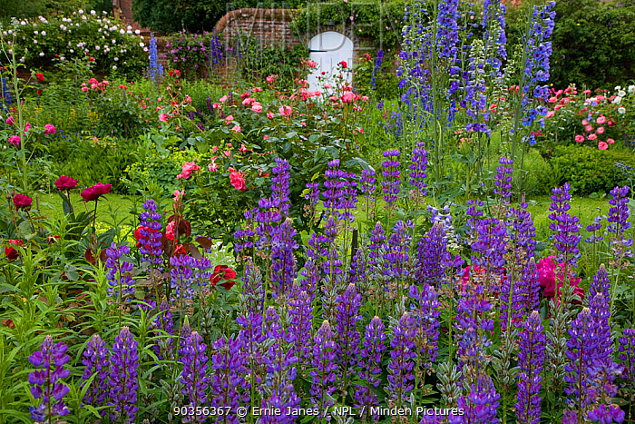 Cottage garden in summer with flowering roses, lupins and paeonies, Norfolk, UK, June  -  Ernie Janes/ npl