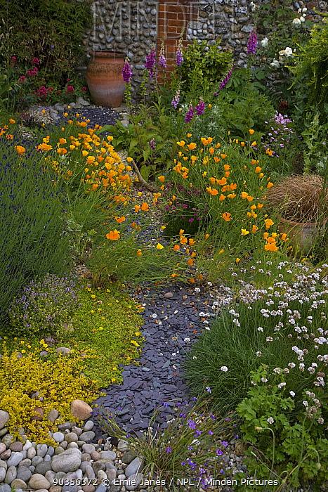 Path through a walled cottage garden in summer with flowering foxgloves and poppies, Binham, Norfolk, UK  -  Ernie Janes/ npl