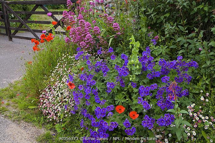 Gateway to a cottage garden in summer with flowering Poppies, Valerian, Cranesbill geranium, Salthouse, Norfolk, UK, June  -  Ernie Janes/ npl