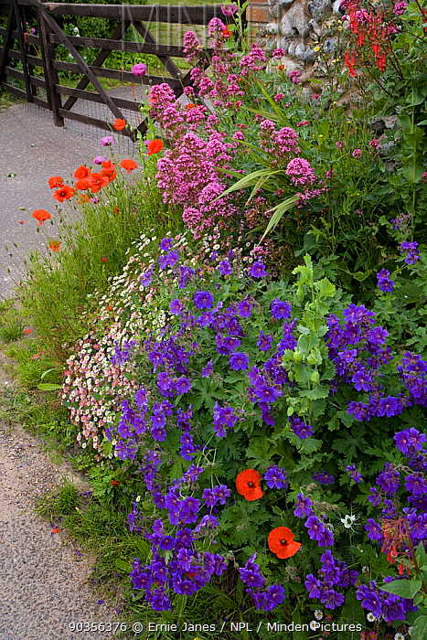 Gateway to a cottage garden in summer with flowering Poppies, Valerian, Cranesbill geranium, Salthouse, Norfolk, UK, June  -  Ernie Janes/ npl