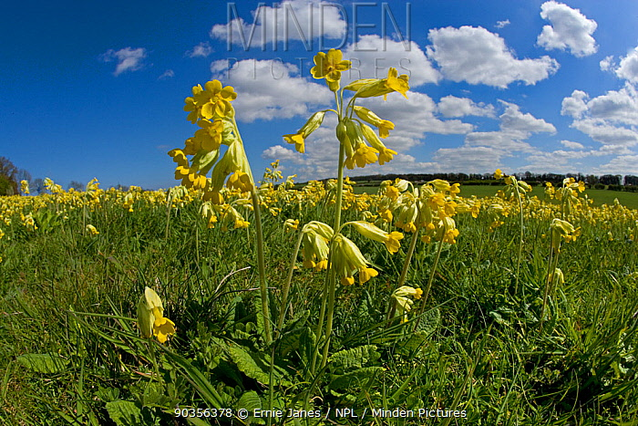 Cowslip flowers (Primula veris) Norfolk, UK, April  -  Ernie Janes/ npl