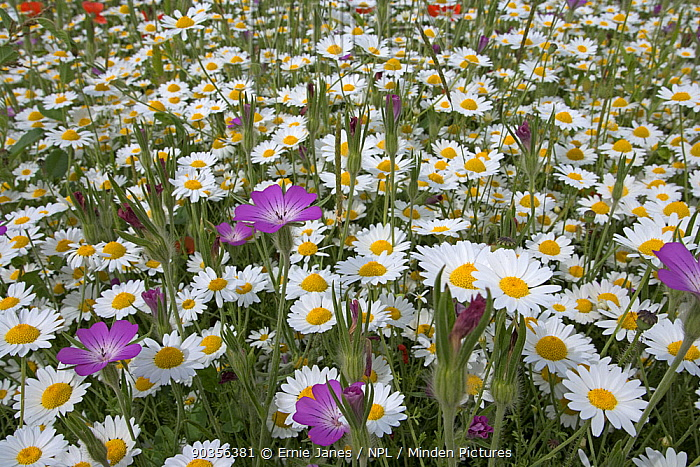 Corn chamomile (Anthemis arvensis) and Corncockle (Agrostema githago) flowering in meadow, UK  -  Ernie Janes/ npl