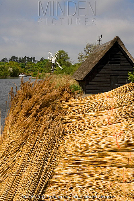 Bundles of cut reeds beside the River Ant, Norfolk Broads, Norfolk, UK  -  Ernie Janes/ npl